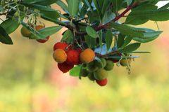 Westlicher Erdbeerbaum