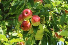 Wildapfel / Holzapfel / Gemeiner Apfel