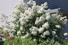 Wildrose Vielblütige Rose / Büschelrose