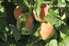Winterapfel 'Korbiniansapfel'
