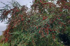Wintergrüne Strauchmispel