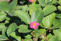 Ziererdbeere 'Red Ruby' ®