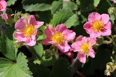 Zier-Erdbeere 'Pink Panda' ®