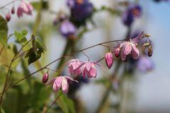 Zierliche Elfenblume 'Roseum'