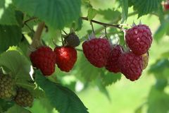 Zwerg-Himbeere Lowberry ® 'Little Red Princess ®'