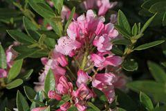Zwerg-Rhododendron 'Bloombux' ® (Magenta)