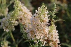 Zwerg-Sommerflieder / Schmetterlingsstrauch 'Summer Lounge' ® (Weiß)