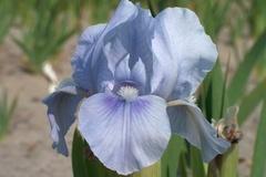 Zwergige Schwertlilie 'Little Sapphire'