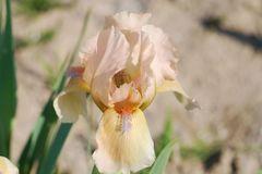 Zwergige Schwertlilie 'Orchid Flair'