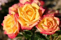 Zwergrose 'Little Sunset' ®