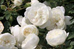 Zwergrose 'White Babyflor' ®