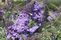 Zwerg-Sommerflieder / Schmetterlingsstrauch 'Buzz ® Sky Blue'