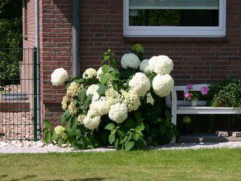 ballhortensie 39 annabelle 39 hydrangea arborescens. Black Bedroom Furniture Sets. Home Design Ideas