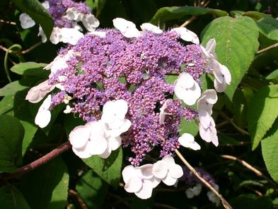 Fellhortensie / Samthortensie 'Macrophylla' - Hydrangea aspera 'Macrophylla'
