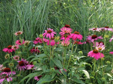 Scheinsonnenhut 'PowWow Wild Berry' - Echinacea purpurea 'PowWow Wild Berry'