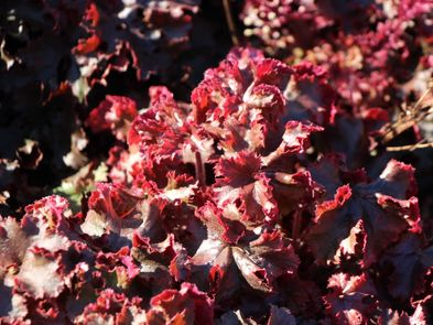 Silberglöckchen 'Melting Fire' - Heuchera micrantha 'Melting Fire'