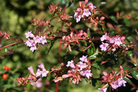 Abelie 'Edward Goucher' - Abelia 'Edward Goucher'