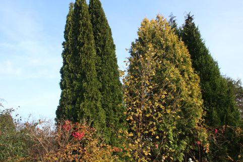 Abendländischer Lebensbaum 'Holmstrup' - Thuja occidentalis 'Holmstrup'