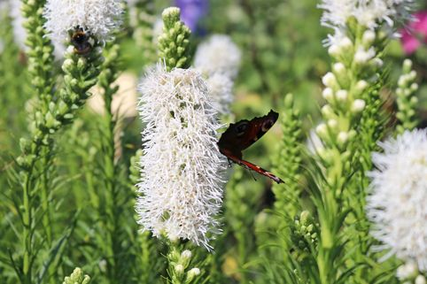 Ährige Prachtscharte 'Floristan Weiß' - Liatris spicata 'Floristan Weiß'