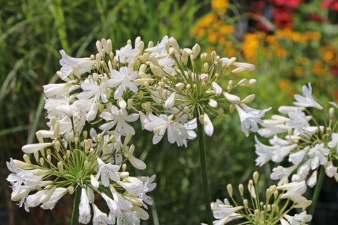 Afrika-Schmucklilie 'Bridal Bouquet' - Agapanthus africanus 'Bridal Bouquet'