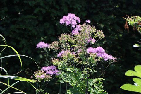 Akeleiblättrige Wiesenraute 'Black Stockings' - Thalictrum aquilegifolium 'Black Stockings'
