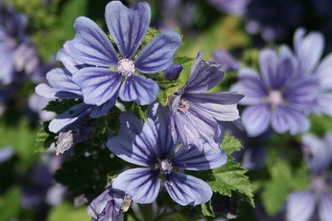 Algier-Malve 'Primley Blue' - Malva sylvestris 'Primley Blue'