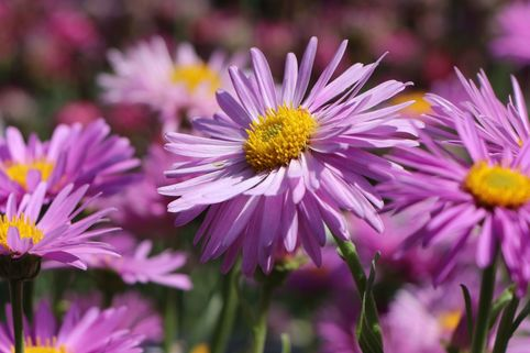 Alpen-Aster 'Happy End' - Aster alpinus 'Happy End'