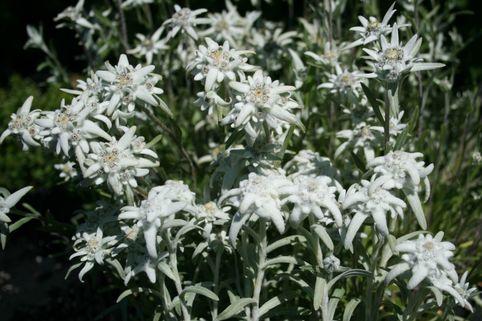 Alpen Edelweiß - Leontopodium alpinum