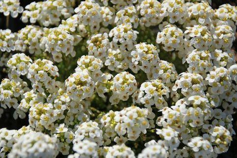 Alpen Gämskresse - Pritzelago alpina subsp. alpina