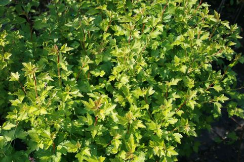 Alpen-Johannisbeere - Ribes alpinum