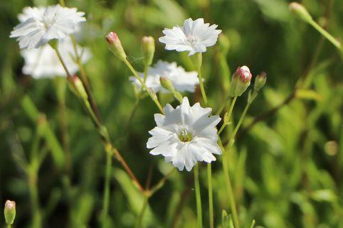 Alpen-Leimkraut 'Starry Dreams' - Silene alpestris 'Starry Dreams'