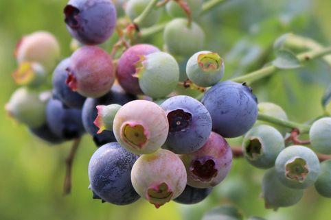 Amerikanische Heidelbeere Lowberry ® 'Little Blue Wonder' ® - Vaccinium corymbosum Lowberry ® 'Little Blue Wonder' ®