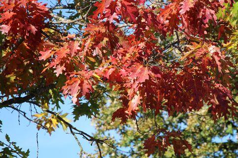 Amerikanische Roteiche - Quercus rubra