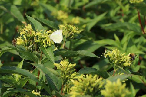Amerikanische Weigelie 'Butterfly' - Diervilla sessiliflora 'Butterfly'