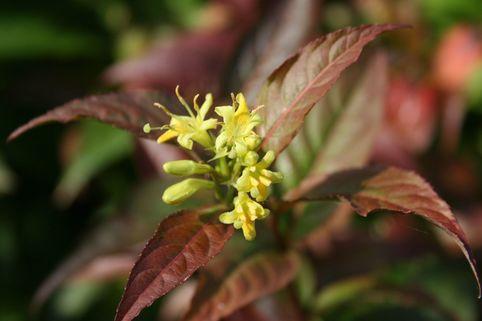 Amerikanische Weigelie / Schein-Weigelie - Diervilla splendens