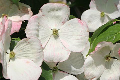 Amerikanischer Blumen-Hartriegel 'Barton's White' - Cornus florida 'Barton's White'