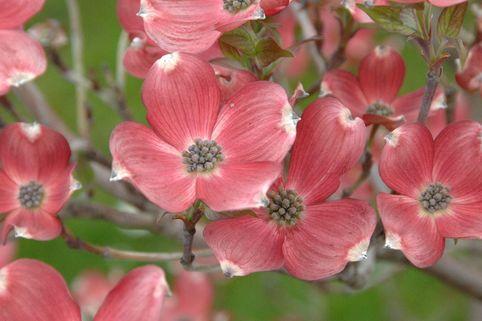 Amerikanischer Blumen Hartriegel 'Cherokee Brave' - Cornus florida 'Cherokee Brave'