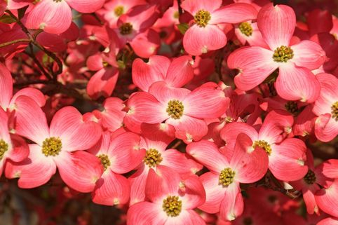 Amerikanischer Blumen-Hartriegel 'Cherokee Chief' - Cornus florida 'Cherokee Chief'