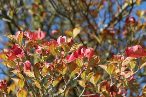 Amerikanischer Blumen-Hartriegel 'Cherokee Sunset' - Cornus florida 'Cherokee Sunset'