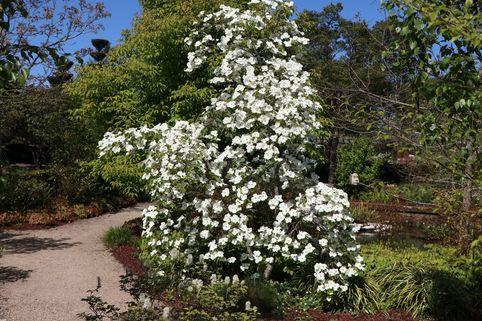 Amerikanischer Blumen-Hartriegel 'Eddie's White Wonder' - Cornus nuttallii 'Eddie's White Wonder'