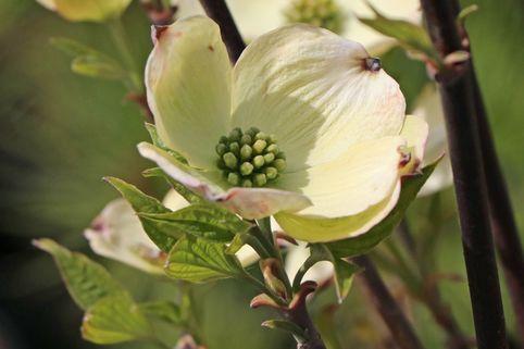 Amerikanischer Blumen-Hartriegel 'Fastigiata' - Cornus florida 'Fastigiata'