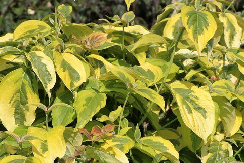 Amerikanischer Blumen-Hartriegel 'First Lady' - Cornus florida 'First Lady'