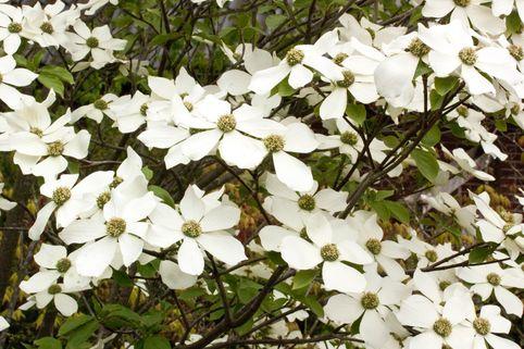 Amerikanischer Blumen-Hartriegel 'Monarch' - Cornus nuttallii 'Monarch'