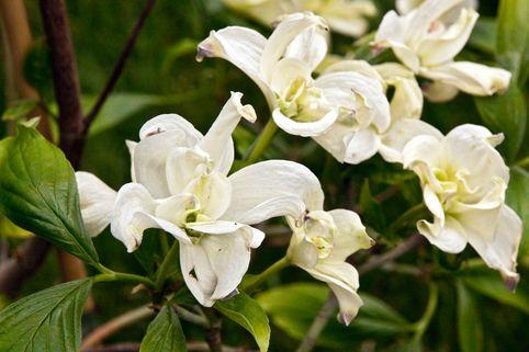 Amerikanischer Blumen-Hartriegel 'Pluribracteata' - Cornus florida 'Pluribracteata'