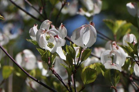 Amerikanischer Blumen-Hartriegel 'Rainbow' - Cornus florida 'Rainbow'