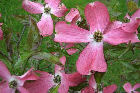 Amerikanischer Blumen-Hartriegel 'Sweetwater' - Cornus florida 'Sweetwater'