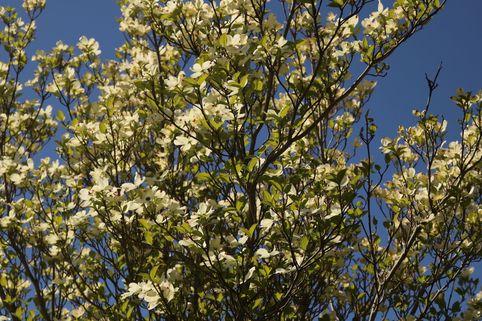 Amerikanischer Blumen-Hartriegel 'White Cloud' - Cornus florida 'White Cloud'