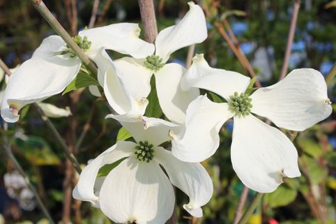 Amerikanischer Blumenhartriegel 'Cherokee Princess' - Cornus florida 'Cherokee Princess'