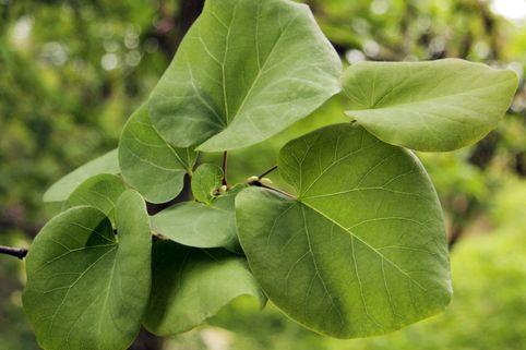 Kanadischer Judasbaum - Cercis canadensis