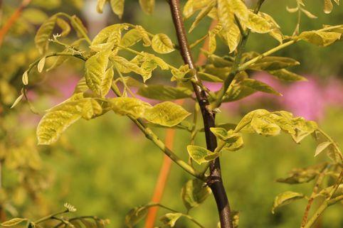 Amerikanisches Gelbholz - Cladrastis lutea